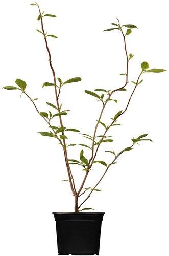tulpen magnolie kaufen g nstig im preisvergleich bei preis de. Black Bedroom Furniture Sets. Home Design Ideas